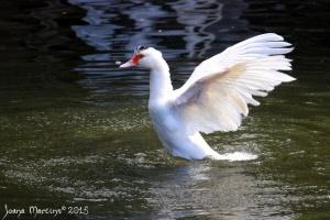 Animais/O pato exibicionista (parte 1)...