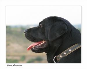 Animais/LUCA - Labrador