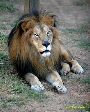 Animais/Leão