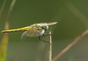 Macro/A fêmea amarela de Sympetrum fonscolombii