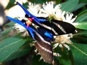 Animais/Uma rara borboleta azul