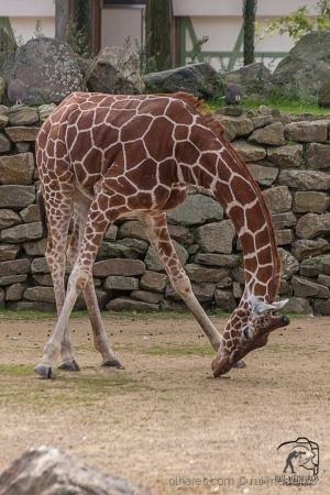 Outros/Girafa