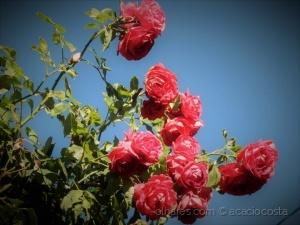 Macro/Rosa encarnada (ler)