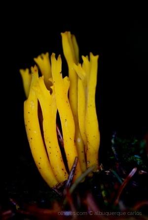 Macro/fungos amarelos