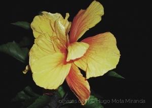 Macro/Flor de Hibísco!! Ler e informe-se ......