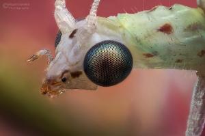 Macro/Chrysoperla lucasina (dragão dos pulgões) 10x Magn