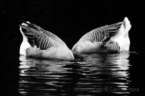 Animais/Um par de patos