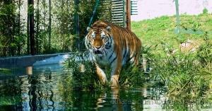 """/""""Jasmine"""", uma jovem fêmea de tigre no Zoo da Maia"""