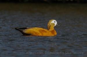 Animais/Pato-ferrugíneo (Tadorna ferruginea)