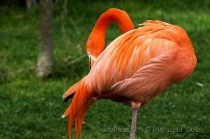 Animais/Flamingo