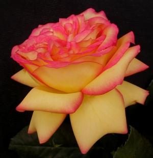 /A Rosa