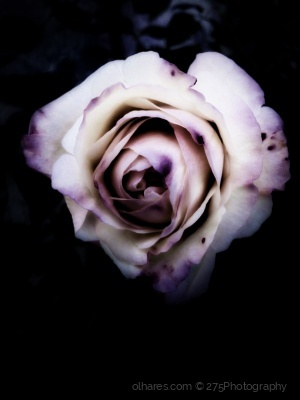 Macro/It was the time of late roses and shorter days..