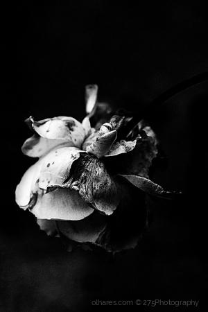 Macro/Just a rose
