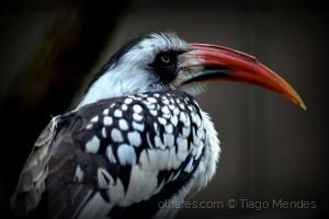 /Calau-de-bico-vermelho (Tockus erythrorhynchus)