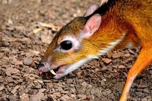 /Veado-ratão
