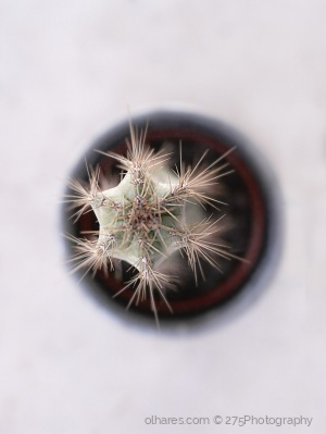 Macro/Cactaceae (The tactful cactus by your window)