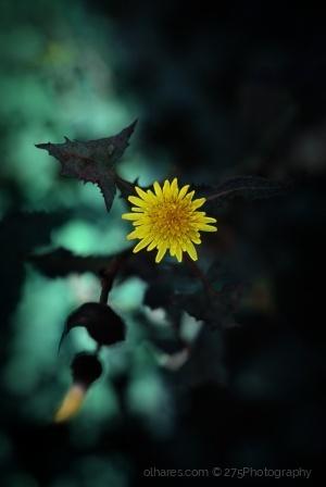 Macro/little yellow sun