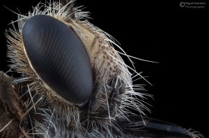 /Robberfly