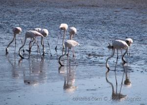 Animais/Coreografia de Flamingos