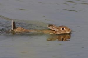 /O coelho sabe nadar yo...