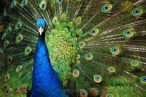 Animais/cores de pavão