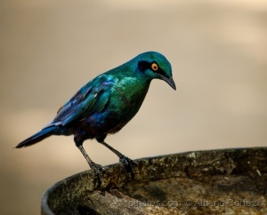 /Cape Glossy Starling