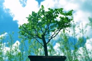 Outros/Bonsai  com um verde lindo