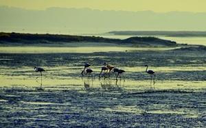 /Flamingos na Reserva do Sado