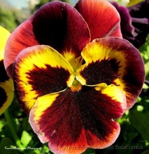 Macro/Viola Tricolor