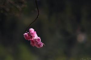 Paisagem Natural/sakura