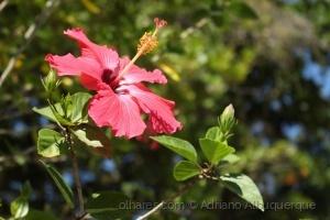 Paisagem Natural/Hibisco Vermelho.