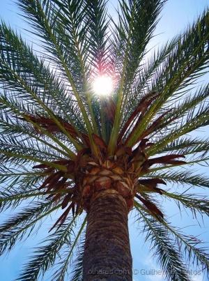 /Espanha_Tenerife_Palmeira