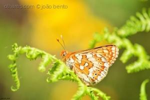 /Euphydryas aurinia