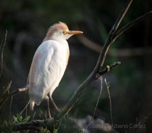 /Cattle Egret (Bubulcus ibis)