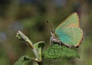 /Callophrys rubi.