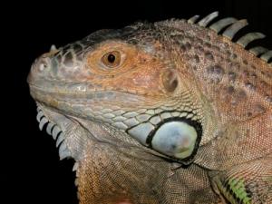 /iguana doméstica