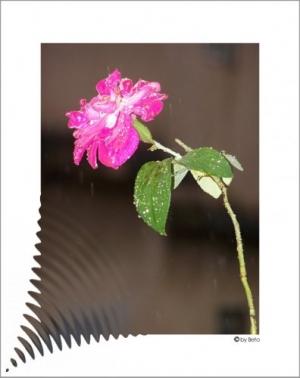 /Em nome da rosa...