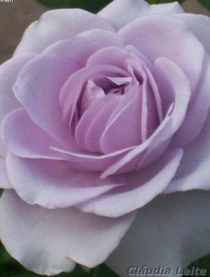 /Rosa lilás