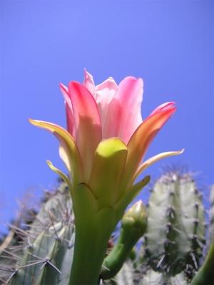 Paisagem Natural/cereus forbesii