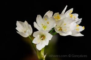 Macro/Flores do campo.