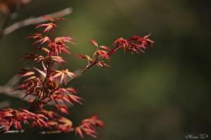 /Acer palmatum