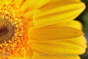 Macro/Pearls of color, drops of yellow
