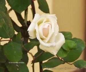 /Rosa branca ao peito...