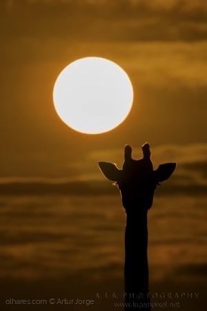 Animais/Girafa ao Nascer do Dia