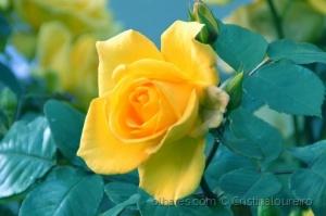 Macro/Esta rosa é para nós, apaixonados pela fotografia.