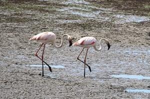 /Flamingos com andamento sincronizado
