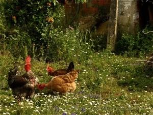 /As galinhas não cantam!