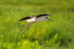 Animais/O voo do pernilongo