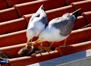 /No telhado da igreja. Casal de gaivotas dá carinho