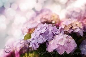 Macro/rosa azul lilás